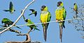 Nanday Parakeet From The Crossley ID Guide Eastern Birds.jpg