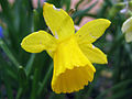 Narcissus (Little Gem cultivar), Capitol Hill, Denver, Colorado.jpg