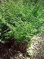 Narecznica szerokolistna Dryopteris dilatata.jpg