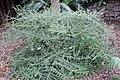 Nashia inaguensis 19zz.jpg
