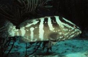 Nassau grouper - Image: Nassau Grouper