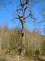 Naturdenkmal Eiche im Pflugspitz.jpg