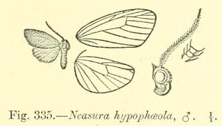 <i>Neasura hypophaeola</i> species of insect
