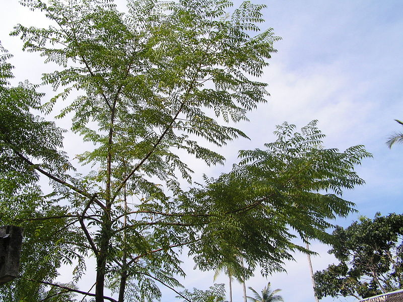 File: Neemtree2.jpg