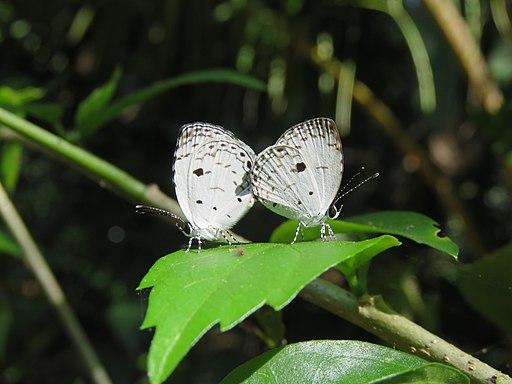 Neopithecops zalmora - Common Quaker - mating at Mayyil (1)