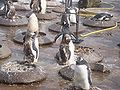 Nesting penguins.jpg