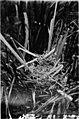 Nestlings of forest and marsh (1902) (14564024847).jpg