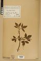 Neuchâtel Herbarium - Acer negundo - NEU000026056.tiff