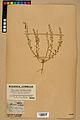 Neuchâtel Herbarium - Alyssum alyssoides - NEU000021936.jpg