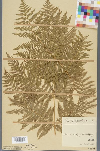File:Neuchâtel Herbarium - Pteridium aquilinum - NEU000000753.tiff