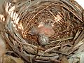 Newborn Northern Cardinal in its nest.jpg