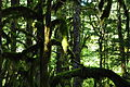 Newhalem, WA - Trail of the Cedars 07.jpg