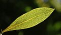 Ngaio leaf (Myoporum laetum), backlit.jpg