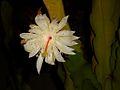 Night queen flower1.JPG