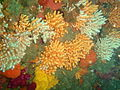 Nippled sea fans at Cleeves tunnen P2274947.JPG