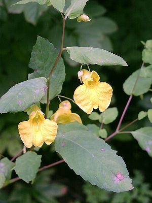 Impatiens noli-tangere - Image: Noli Tangere Pflanze