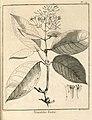Nonatelia lutea Aublet 1775 pl 74.jpg