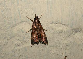 <i>Noorda</i> Genus of moths