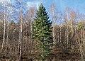 Nordmann fir among birches 1.jpg