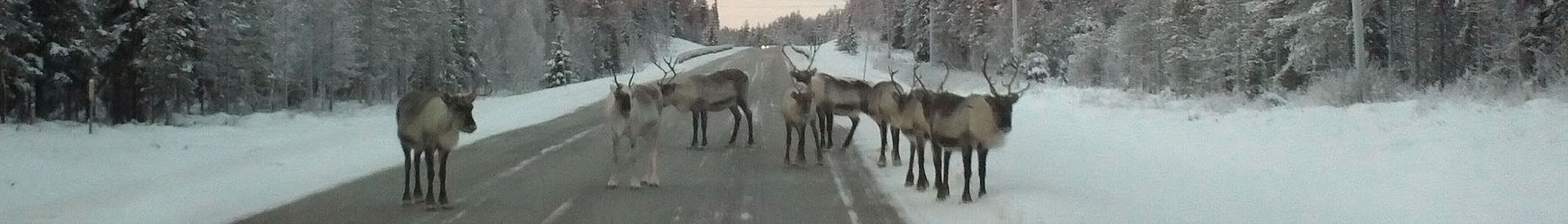 Northern Finland banner Reindeer in Posio - sharpened.jpg