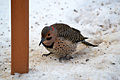 Northern Flicker (Yellow-shafted) (Colaptes auratus auratus) (12418761995).jpg
