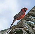 Northern Red Cardinal (30543631925).jpg