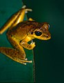 Northern Stony Creek Tree Frog (Litoria jungguy) (10242485934).jpg