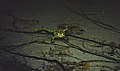 Northern leopard frog in Babcock Lake (DSCF3549).jpg