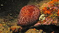Notaspidean Sea Slug (Pleurobranchus grandis) (8457913793).jpg