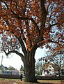 Oak Tree - Salem, NJ - November 2012.jpg