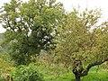 Oak tree and Apple tree in Anavriti - panoramio.jpg