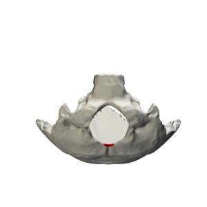 Foramen magnum - Image: Occipital bone Opisthion 01