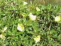 Oenothera missouriensis1.jpg