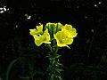 Oenothera odorata 2.jpg