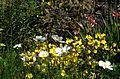 Oenothera tetragona and white Cosmos bipinnatus - Flickr - peganum.jpg