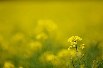 Oilseed rape field (31943095775).jpg