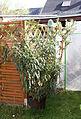 Oleander (17030232939).jpg