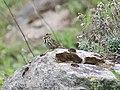Olive backed Pipit I IMG 3859.jpg
