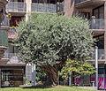 Oliveira. Escaldes-Engordany. Andorra 110.jpg