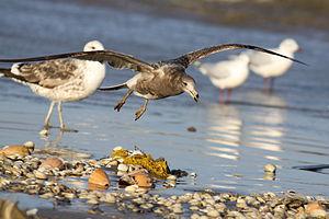 Olrog's gull - South Brazil