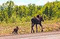 On Hwy 97 between Summit Lake and LiardMoose mum and calf (5857519152).jpg