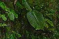 One Leaf Plant (Monophyllaea sp.) (22870686619).jpg