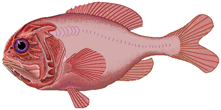 Because of overfishing at their seamount spawning grounds, stocks of orange roughy (Hoplostethus atlanticus) have plummeted; experts say that it could take decades for the species to restore itself to its former numbers. Orange roughy.png