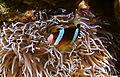 Orangefin anemonefish 4.jpg