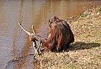 Orangutan in Paignton Zoo.jpg