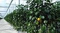 Oranje paprika plant.jpg