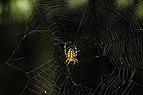 Orb Weaver spider 2 LR.jpg
