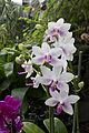 Orchideje v Troji, Cattleya hybrida, 13.jpg