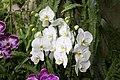 Orchideje v Troji, Phalaenopsis, 04.jpg