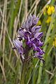 Orchis militaris chezy-sur-marne 02 12052007 4.jpg